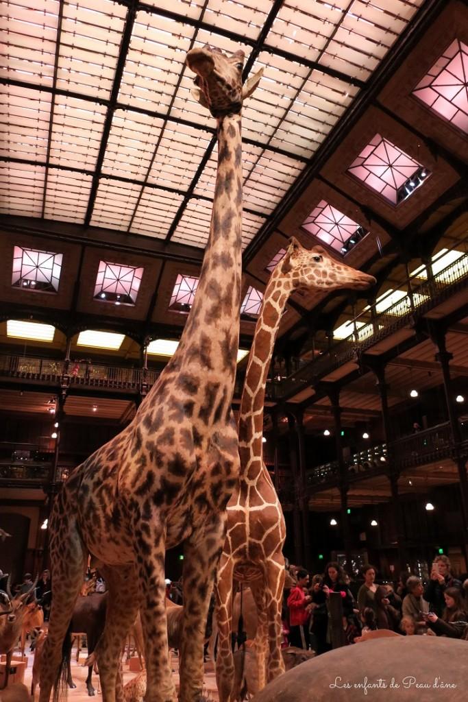 Girafes b