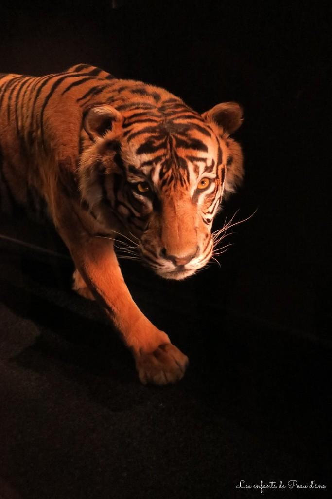 Tigre b